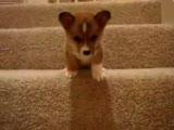 yavru köpek basamak inmeye çalışıyor ama..