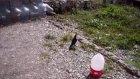 güvercin taklacı seferli