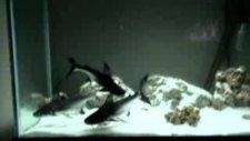 köpek balığı celincir.2