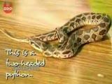 İki başlı piton yılanı!!