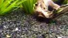 çöpçü balıkları yavruları
