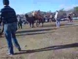 deve güreşi milastan ünalbey-haydarlıdan küçükaĞa
