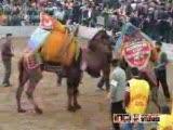 deve güreşi milastan ünalbey-mastavradan esmerbey