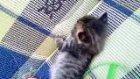 kemirgen kedi