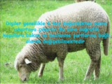 koyunlarda damızlık dişi seçimi