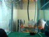 piranha.9