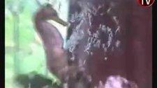 erkek deniz atının doğum anı