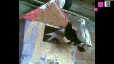 güvercinkağızman