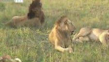 bu aslanlar şarkı söylüyor