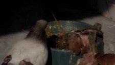 14 günlük hünkari güvercin yavrusu