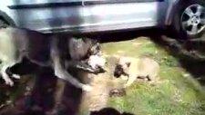 yavru sivas kangalı sibirya kurduna kafa tutuyor