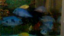 balıklarım