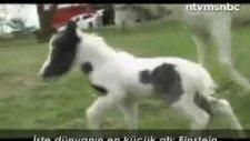 dünyanın en küçük atı einstein