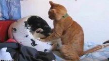 kediler boks yapıyor