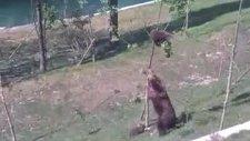 anne ayının mücadelesi - ağacı yıktı
