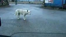 köpeğin çılgın dansı