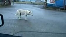 bu köpeğin cinsi tekno