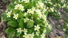 Naltaş Köyü Saimbeylisusam Çiçeği