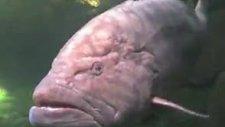 bu balığı diğerlerinden ayıran çok büyük olması