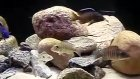 aulonocara hueseri malawi çiklit
