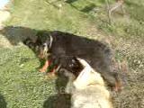 kangal ve rottweiler oynuyor