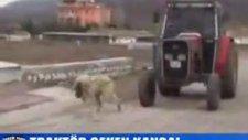 koca traktörü çeken kangal
