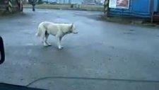 köpek dans etmeye başlarsa