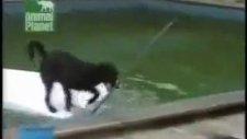 yüzme bilmeyen köpeğin zekası harika