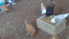 güvercin yemleme 2