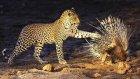 leoparın kirpi avı