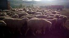 koyunlarimiz