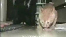 bencil kedi
