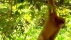 cesaretli maymun