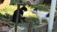 sokak kedileri  racon kesme