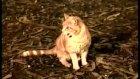 kedilere neden nankör denir?