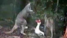 kanguruyla kazın komik kavgası