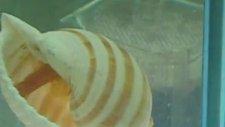 albino gold vatoz çiftleşme lepistes fun kulübü