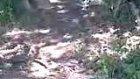 Koyun Köpeği Arap Yılan Öldürüyor