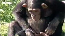 bu maymun sizce ne yapıyor ?