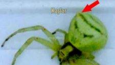 bodrum'da insan yüzlü örümcek bulundu!