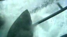 dev köpekbalığı ile burun buruna!