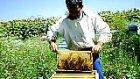 arılar bal yapıyor