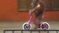 bisiklet süren maymunun şovu