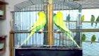 damızlık ve yavru muhabbet kuşları