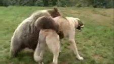 Kangal ile Ayının Dostluğu