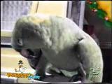 papağandan taklit