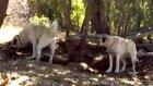 sivas hafik yeniköyde yarlıoğlunun  kangalları& kı
