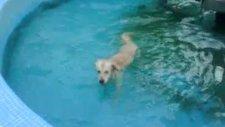 golden retriever jessie'nin havuz sefası