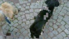 turkish bulldog panter ve golden jessie oynuyor