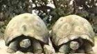 bu kaplumbağa ne kadar uyanık